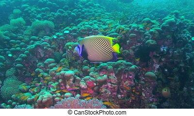 Emperor angelfish, Pomacanthus imperator, Papua New Guinea,...