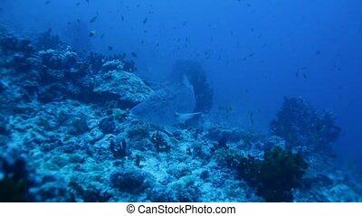 Emperor Fish (Lethrinus microdon) Swimming near Bottom,...