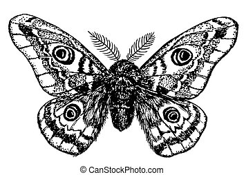 Emperor moth drawing - Hand drawn illustration of a emperor...