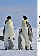 Emperor Penguins with chicks Snow Hill, Antarctica 2010 on...