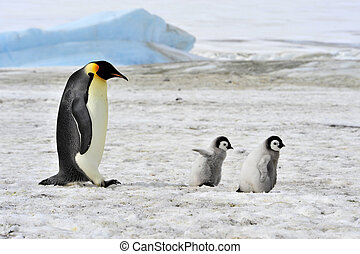 Emperor Penguin with chick - Emperor Penguin with two chicks...