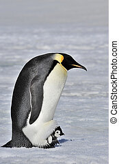 Emperor Penguin with chick - Emperor Penguins at Snow Hill...
