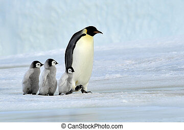Emperor Penguin with chicks Snow Hill, Antarctica 2010 on...