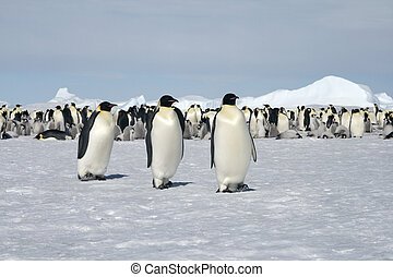 Emperor penguins (Aptenodytes forsteri) walking on the ice...