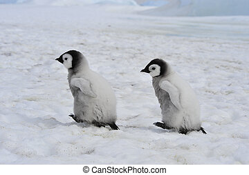 Emperor Penguins chicks - Emperor Penguins with chick Snow...