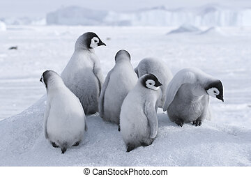 Emperor penguins on the sea ice in the Weddell Sea,...