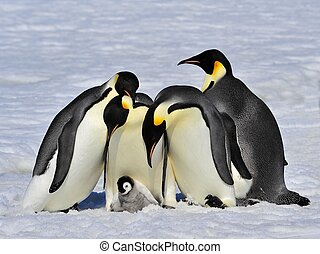 Emperor Penguins with chick Snow Hill, Antarctica 2010 on...