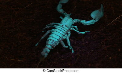 Emperor Scorpion in Blacklight - Handheld, high angle, ...