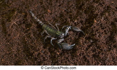 Emperor Scorpion Walking Off Table - Handheld, high angle, ...