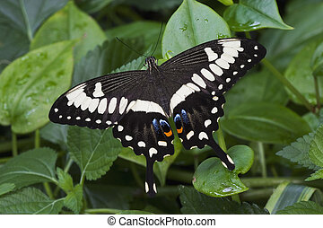 Emperor Swallowtail Butterfly (papilio ophidicephalus)...