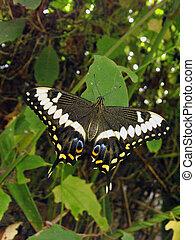 Emperor Swallowtail (Papilio lormieri) Butterfly