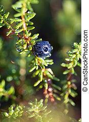 empetrum, brombeere, blühen, ericaceae, circumboreal,...