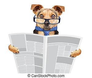 empresa / negocio, perro, llevando gafas, y, corbata, periódico de la lectura, aislado, blanco