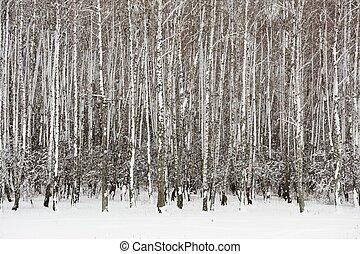 Empty birch trees grove in winter