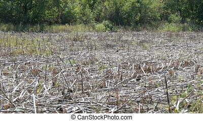 Empty field after harvested sunflower crop