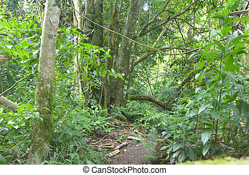 Empty path in the cross island track in the rainforest of Rarotonga Cook Islands