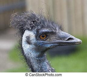 emu, azul, cabeza, encima de cierre