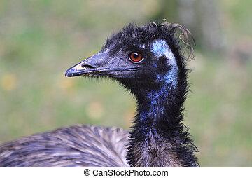 emu bird head