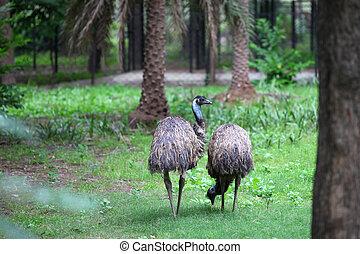 Emu birds - Two flightless emu birds in the woods