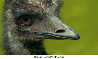An every close shot of an emu.