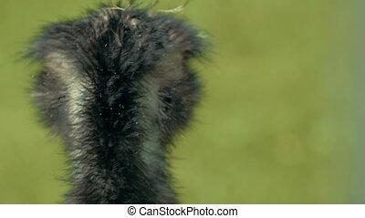 Emu close up in UHD - An every close shot of an emu. UHD...