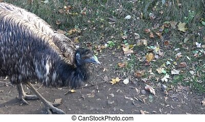 Emu (Dromaius novaehollandiae). A large Australian flightless bird