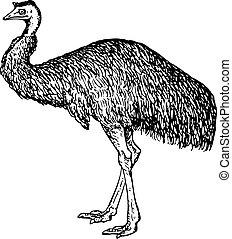 Emu (Dromiceiidae) standing on white background