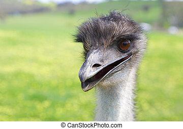 emu, glücklich