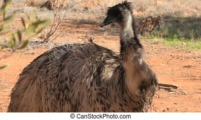Emu, Dromaius novaehollandiae, on arid ground, is an important cultural icon of Australia. Desert Park at Alice Springs, Mac Donnell Ranges in Northern Territory, Australia.