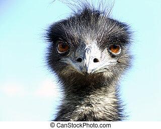 Emu (Dromaius novaehollandiae) portrait