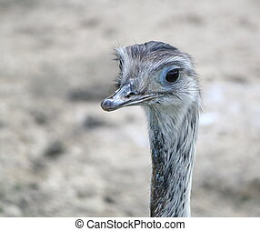 emu, porträt