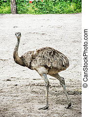 Emu - Dromaius novaehollandiae - is the second-largest living bird by height, after its ratite relative, the ostrich. Beauty in nature. Vertical composition. Flightless bird portrait.