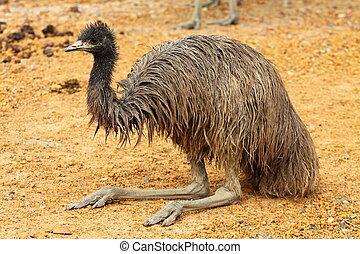emu, retrato, australia