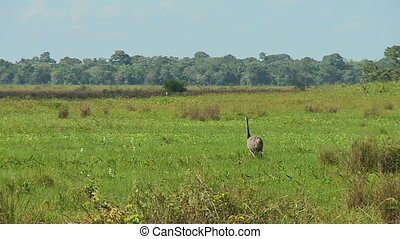 Steady, exterior, medium wide shot of an emu walking in the middle of a field, another bird nearby.