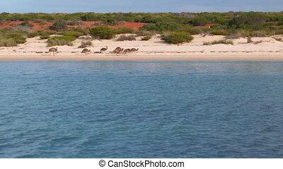 Emu walking on the beach