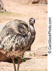 Emus are the second largest member of the ratite group of flightless birds
