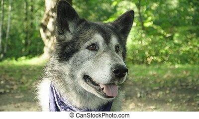 en avant!, aimer, regarder, intérêt, chien, loup, gris