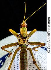 en, close-up udsigt, i, en, grønne, insekt, på hvide, hat, hos, blå, rem, ind, en, sort baggrund