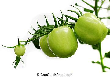en, fondo, tomate, de, planta, aislados, blanco.