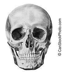 en, illustration, av, mänsklig skalle