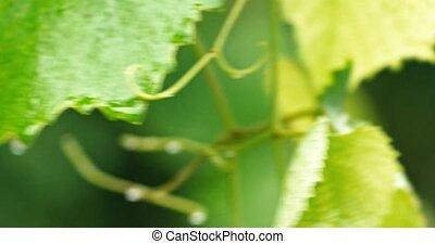 en mouvement, feuilles, raisin, vent, mouillé