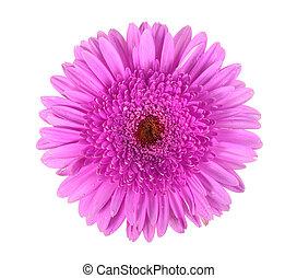 en, purpurfärgad blomma, med, dagg