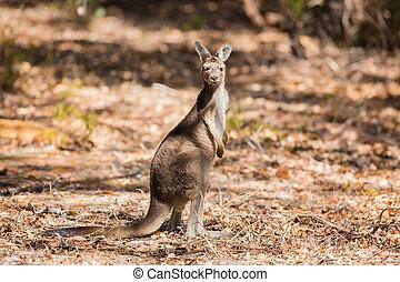 en, stående, känguru