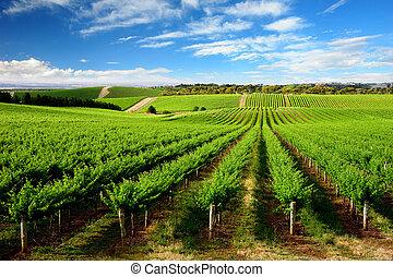 en, träd, kulle, vingård