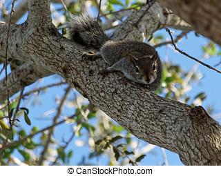 encabece, esquilo, inclinado, olhar