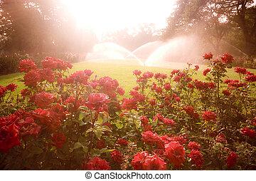 encantado, escena, rosas