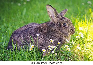 encantador, conejo