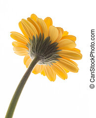 encantador, flor, gerbera, amarillo, margarita