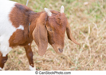 encantador, goat, cámara, marrón, verde, naturaleza, mirar