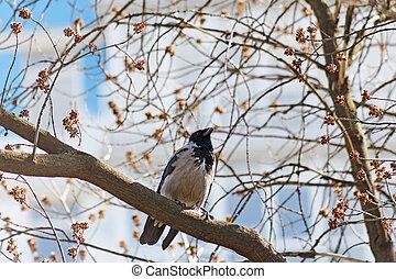 encapuchado, sentado, cuervo, corvus, rama, cornix